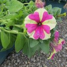 Petunia Fresh garden Pelleted Sophistica Lime Bi Color Flower 15 Seeds