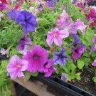 Petunia Fresh garden Daddy Mix Flower 50 Seeds