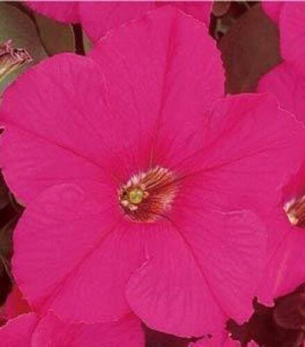 Petunia Fresh garden Supercascade Rose Flower 50 Seeds