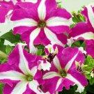 Petunia Fresh garden Candypops Rose Star Flower 50 Seeds