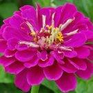 50 Zinnia Seeds Elegans Dreams Garden Fresh Flower