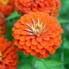 50 Zinnia Seeds Higro Orange Flower Garden Fresh Flower