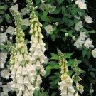 50 White Foxglove Seeds Perennial Flowers Spring Bloom