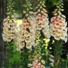 50 White Peach Foxglove Seeds Perennial Flowers Spring Bloom