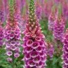 Fresh Foxglove Perennial Flowers Spring Bloom Digitalis Purple 500 Seeds