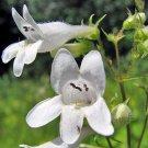 Big Sale Fresh Foxglove Perennial Flowers Spring Bloom White Beardtongue 100 Seeds