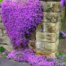 Purple Rock Aubrieta Cascade Rock Cress Resistant Perennial Flower 50 seeds per pack