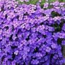 Purple Rock Aubrieta royal Violet Cress Resistant Perennial Flower 50 seeds per pack
