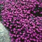 Purple Rock Aubrieta rock cress whitewell Cress Resistant Perennial Flower 50 seeds per pack