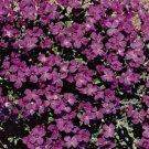 Rock Cress Hendersonii Aubrieta garden decore 50 seeds per pack
