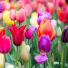 5 bulbs Special Rainbow Mix Tulip Rich colors 11/+ cm, Lovely blooms