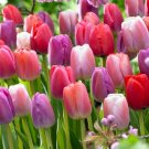 5 bulbs Special Purple mix Tulip True colors 11/+ cm, Lovely blooms