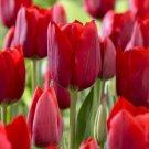 5 bulbs Special Bastogne Tulip True colors 11/+ cm, Lovely blooms