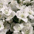 Allium Cowanii 10 bulbs, Lovely blooms Limited Edition