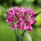 Deer resistant Allium Ostrowskianum 10 bulbs, Lovely blooms Limited Edition