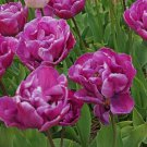5 bulbs Negrita Double Tulip True colors 11/+ cm, Lovely blooms