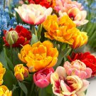 5 bulbs Double Mix Tulip True, Lovely blooms