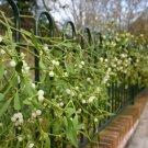sweet 5 seeds Mistletoe Fresh Flower From Garden