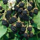 Sweet Fruit Blackberry 100 seeds High Germation Fresh From My Garden