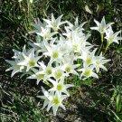 Rain Lily White 10 seeds Fresh From My Garden