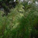 Dog Fennel tree 15 seeds ornamental Fresh From Garden