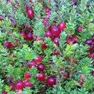Sweet Favorite Cranberry 30 seeds Fresh From Garden