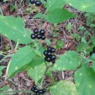 Best Selling Garden Huckleberry 100 seeds Fresh From Garden