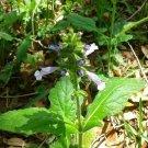 Wild Flower Collection Marsh Woundwort 25 seeds Fresh From Garden