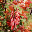 Climbing Fruit Scarlet Wisteria 10 seeds Fresh From Garden