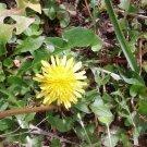 Rare wild Flower Dandelion 200 seeds Fresh From Garden