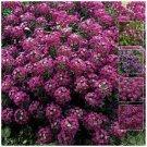 Super sell 300 seeds Alyssum Royal Velvet Pink & purple tones