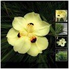30 seeds Dietes Bicolor TCF Sunrise Lily Seeds