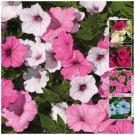 Fresh PETUNIA Multiflora Cherish Mix color 200 Seeds