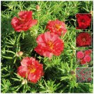 Ground Decore Endless Summer RED 25 seeds