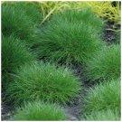Ground Decore Festuca Ovina Green Trooper 50 Seeds