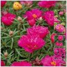 Ground Decore  Endless Summer MAGENTA 25 seeds