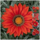 Large Flower Kiss Frosty Red x15 Seeds
