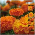 Favorite Summer Flower MARIGOLD Compact Orange 50 Seeds