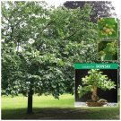50 Seeds White Mulberry  Stunning tree ideal for landscape or bonsai