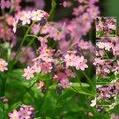Oriental Pink 30 Seeds Suitable as cut flower