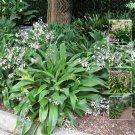 15 seeds Arthropodium Cirrratum Matapouri Bay long live