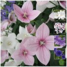 Mixed color 30 seeds Amsterdam Lily beauty flower