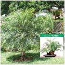 Phoenix Roebelenii Dwarf Canary Island Palm x8 Seeds