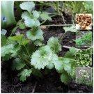 aromatic herb variety CORIANDER Spicy Aroma x60 Seeds
