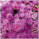 Pink Pom-Pom x100 Seeds double pink flower