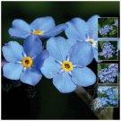 Myosotis Forget-Me-Not Blue x100 Seeds