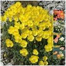 Rare dwarf 50 seeds Papaver Alpinum Hybrid Alpine Poppy