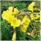 Aromatic medicinal flower PRIMROSE Of the Evening x150 Seeds