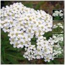 Promotion Perennial ACHILLEA White Yarrow x500 Seeds