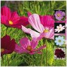 Cosmos Cut Flower Sensation Mix 50 Seeds fresh garden